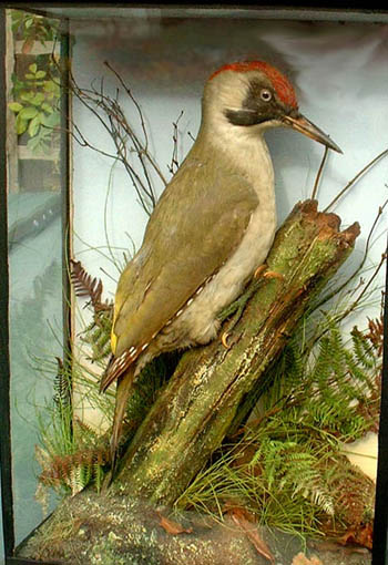 Green Woodpecker (Army _ Navy)[1].JPG